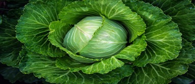 Cabbage grow with water