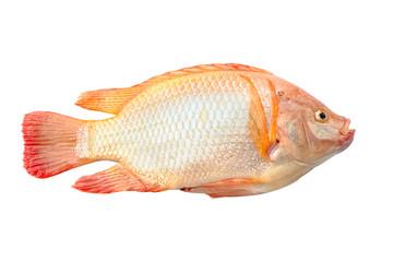 Tilapia in Aquaponics