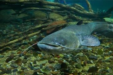Catfish in aquaponics