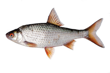 Silver Perch in aquaponics