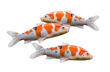 koi fish in aquaponics system