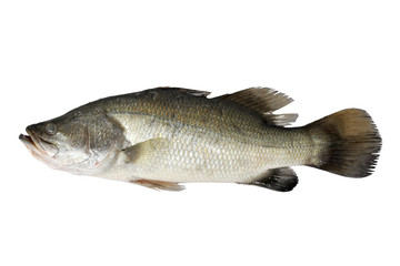 Barramundi fish in aquaponics
