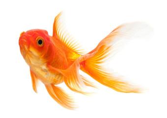 Goldfish in aquaponics