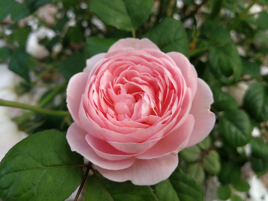English Rose (Rosa hybrids)